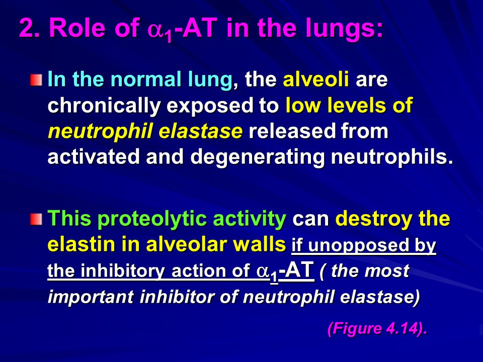 2. Role of  1 -AT in the lungs: In the normal lung, the alveoli are chronically exposed to low levels of neutrophil elastase released from activated