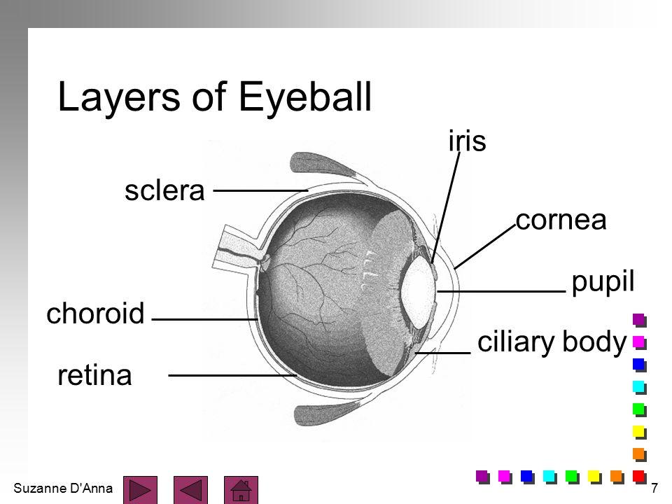 Suzanne D'Anna7 Layers of Eyeball pupil cornea ciliary body sclera choroid iris retina