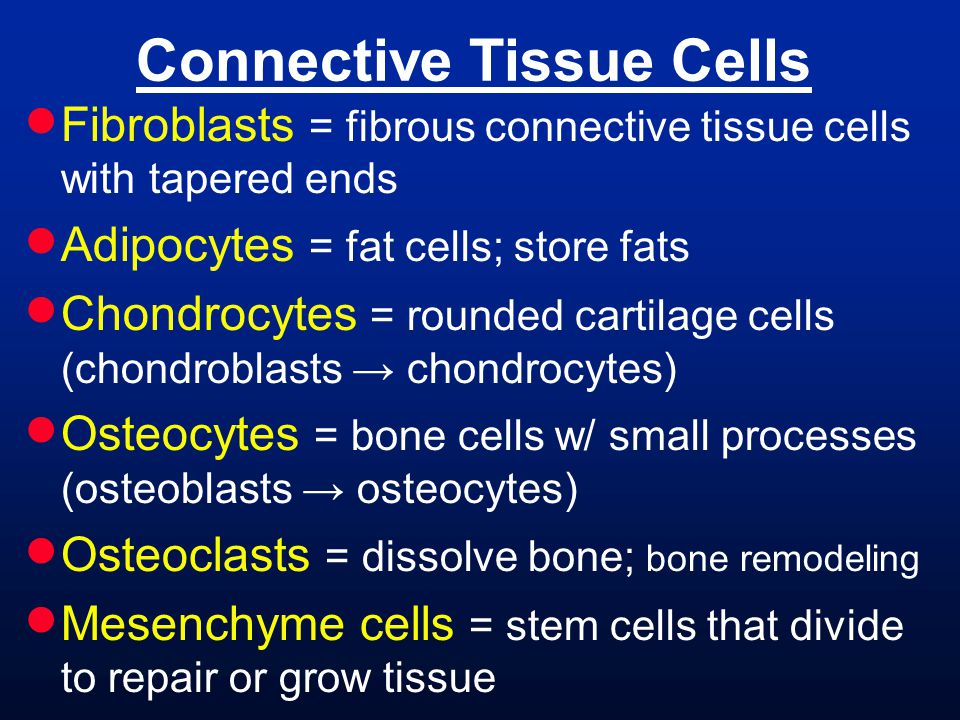 Connective Tissue Cells  Fibroblasts = fibrous connective tissue cells with tapered ends  Adipocytes = fat cells; store fats  Chondrocytes = rounded cartilage cells (chondroblasts → chondrocytes)  Osteocytes = bone cells w/ small processes (osteoblasts → osteocytes)  Osteoclasts = dissolve bone; bone remodeling  Mesenchyme cells = stem cells that divide to repair or grow tissue