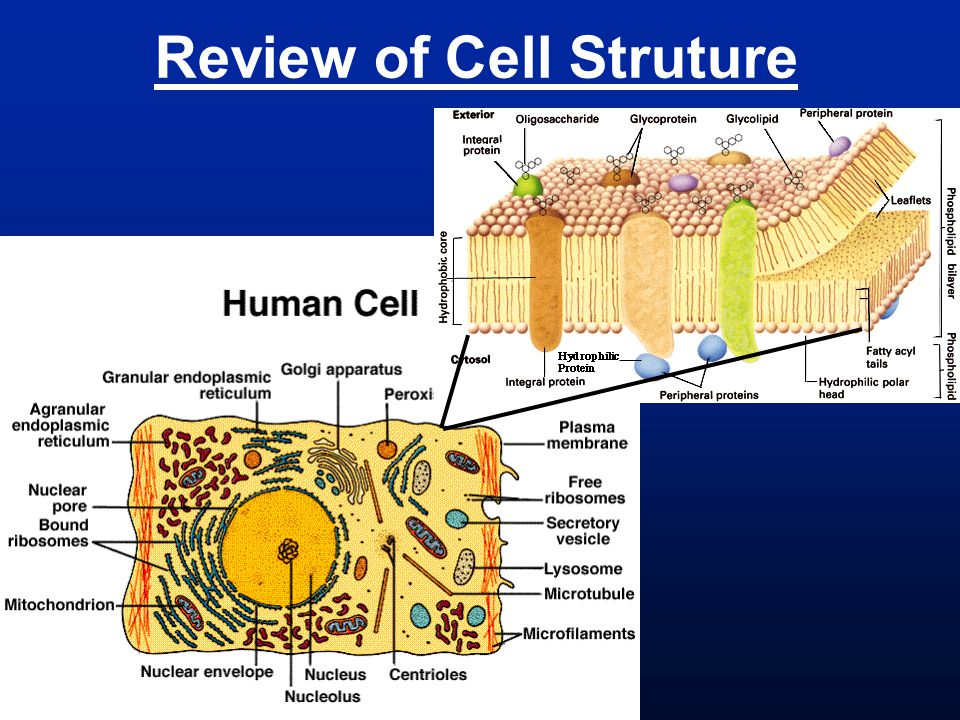 Review of Cell Struture