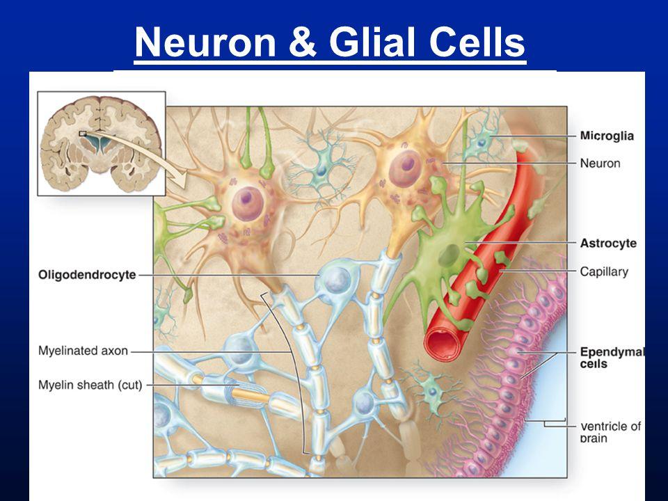 Neuron & Glial Cells