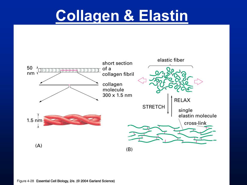 Collagen & Elastin