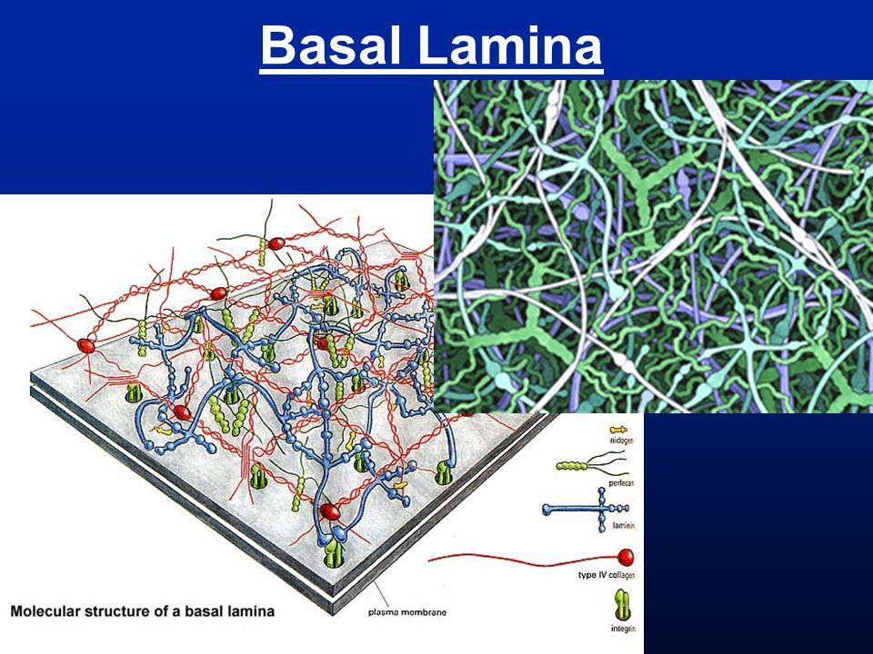 Basal Lamina