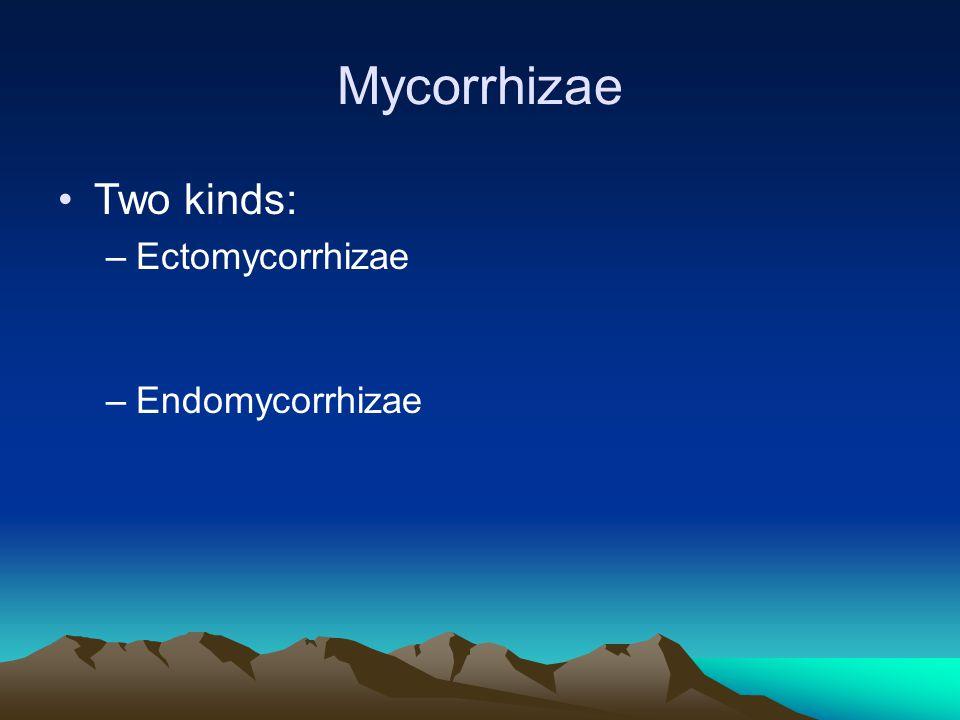 Mycorrhizae Two kinds: –Ectomycorrhizae –Endomycorrhizae