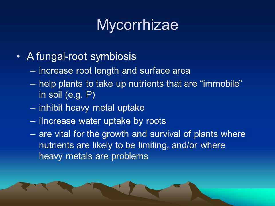 Mycorrhizae A fungal-root symbiosis –increase root length and surface area –help plants to take up nutrients that are immobile in soil (e.g.