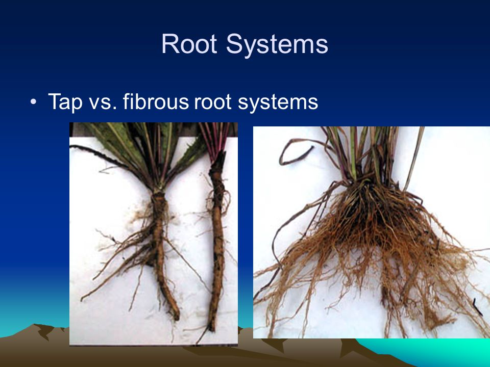 Root Systems Tap vs. fibrous root systems