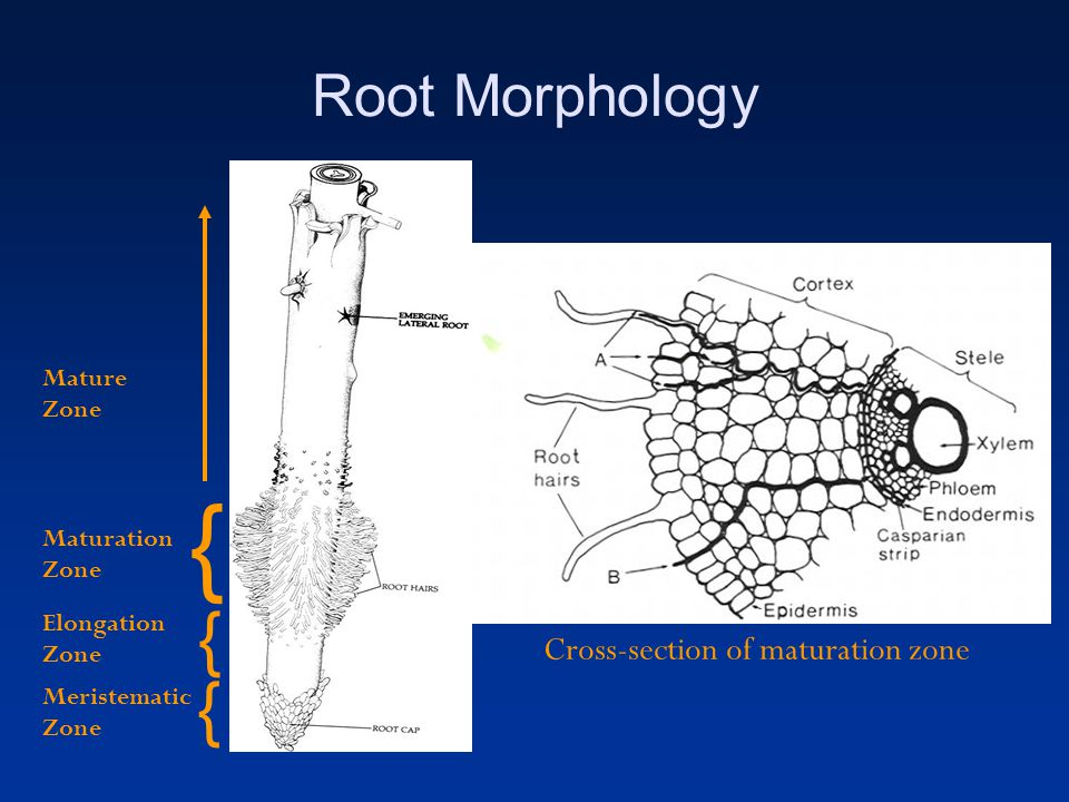 Functions Root cap –Protection of meristem –Secretion of mucigel –Initiation of symbiotic relationships Elongation Zone –Elongation of cells forces root through the soil Maturation zone –Root Hairs –Major zone of water and nutrient uptake