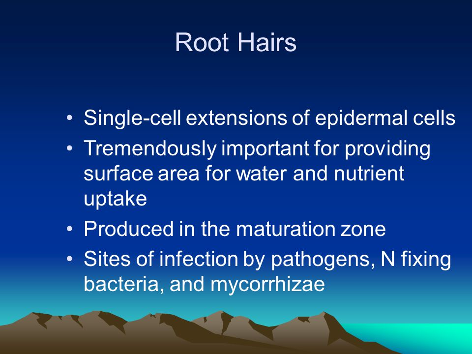 Root Hairs Root hairs can account for 2 / 3 of total root surface area.