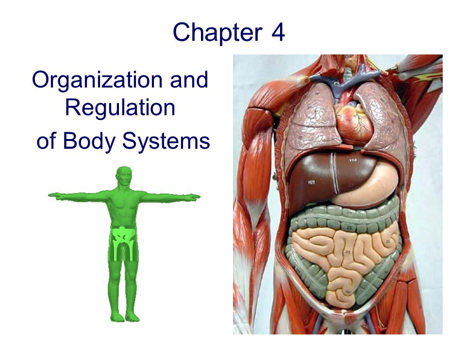 Chapter 4 Organization and Regulation of Body Systems