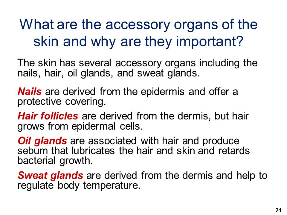21 What are the accessory organs of the skin and why are they important? The skin has several accessory organs including the nails, hair, oil glands,