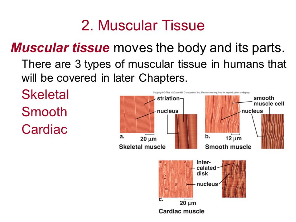 3.Nervous Tissue Nervous tissue allows for communication between cells.