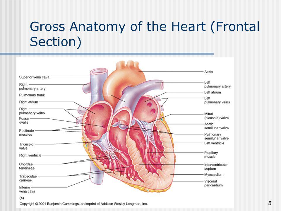 9 Description of the Heart (Part 5) Bicuspid (mitral) L.