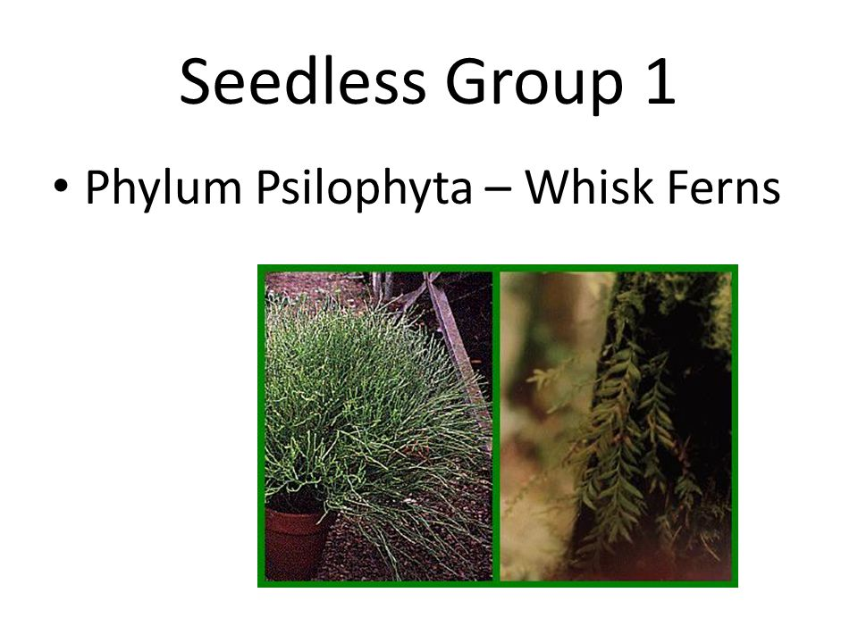 Seedless Group 2 Phylum Sphenophyta – Horse Tails