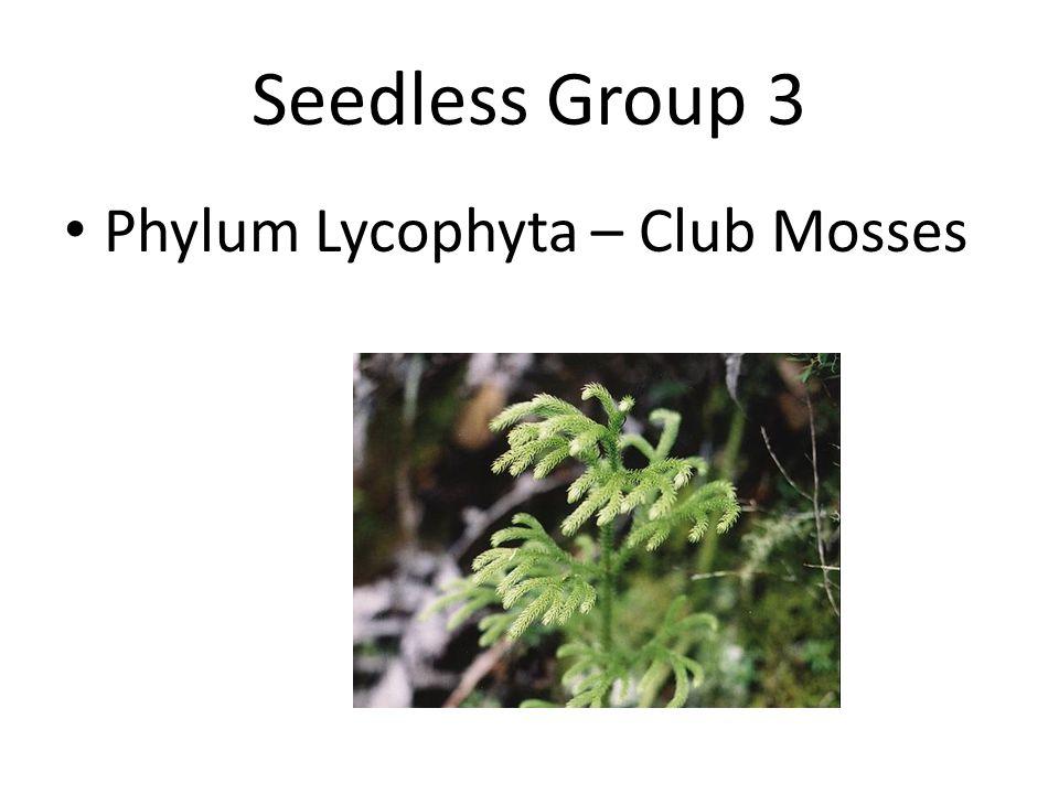 Seedless Group 4 Phylum Pterophyta – Ferns