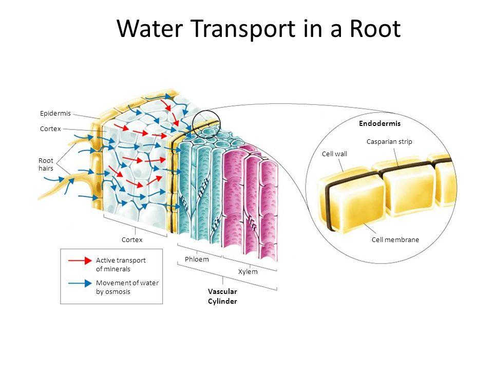 Figure 35.3 Radish root hairs