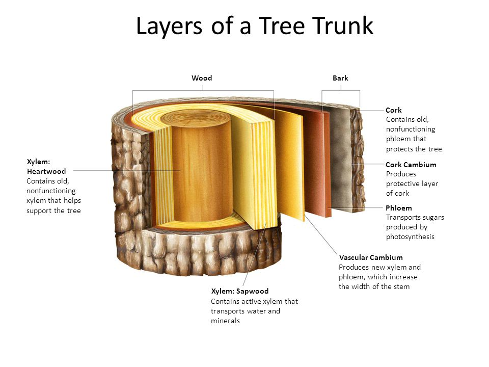 Section 23-3 WoodBark Cork Cork Cambium Phloem Vascular Cambium Xylem: Sapwood Xylem: Heartwood Layers of a Tree Trunk Contains old, nonfunctioning xy