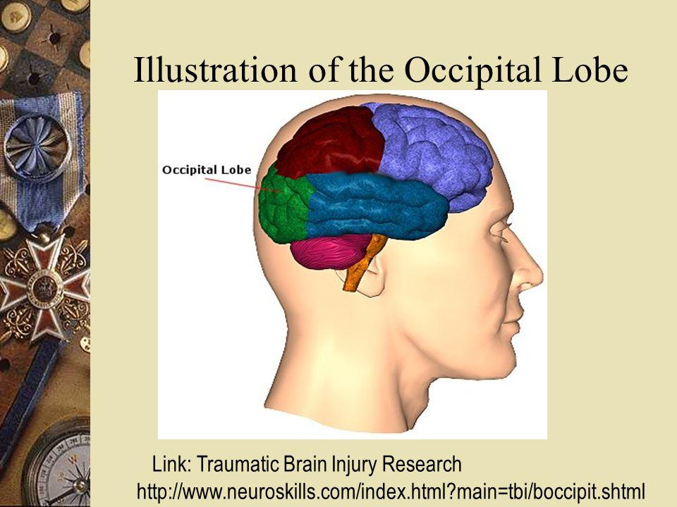 Illustration of the Occipital Lobe Link: Traumatic Brain Injury Research http://www.neuroskills.com/index.html main=tbi/boccipit.shtml