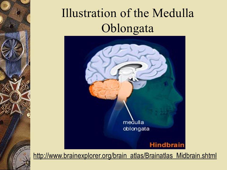 Illustration of the Medulla Oblongata http://www.brainexplorer.org/brain_atlas/Brainatlas_Midbrain.shtml