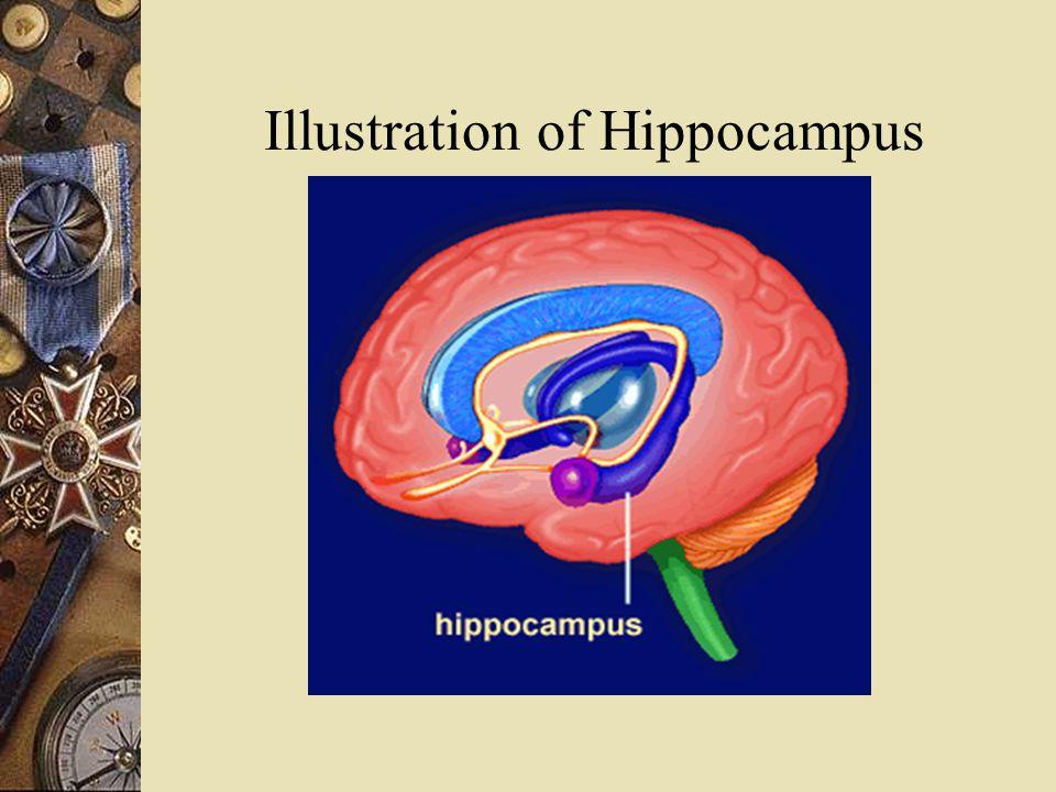 Illustration of Hippocampus