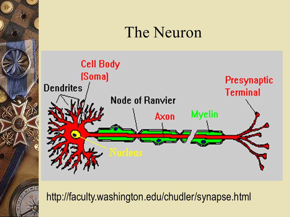 The Neuron http://faculty.washington.edu/chudler/synapse.html