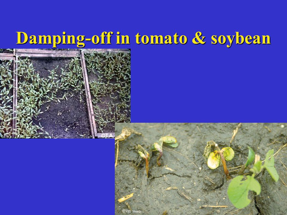 Damping-off in tomato & soybean