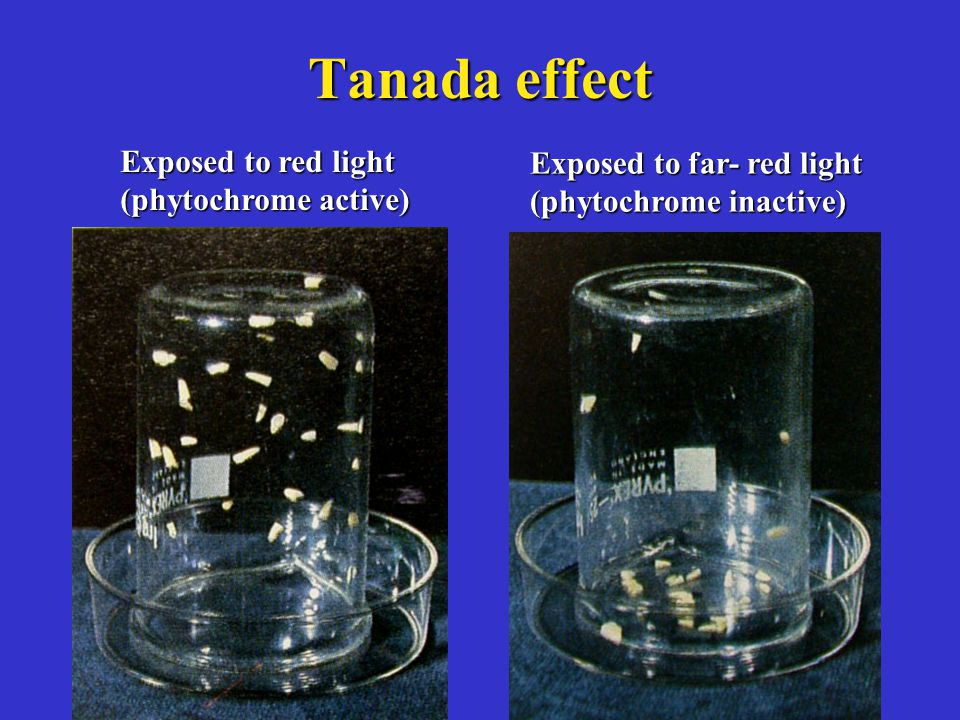 Tanada effect Exposed to red light (phytochrome active) Exposed to far- red light (phytochrome inactive)