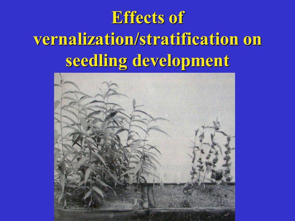 Effects of vernalization/stratification on seedling development
