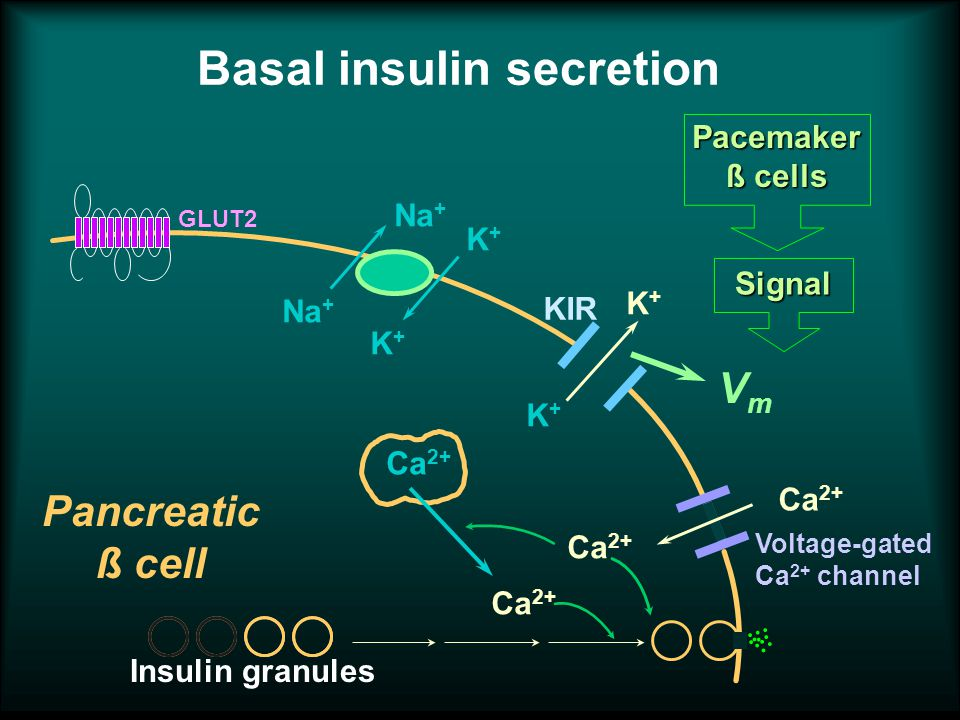 Basal insulin secretion Na + K+K+ K+K+ K+K+ K+K+ GLUT2 Ca 2+ Voltage-gated Ca 2+ channel KIR Pancreatic ß cell Pacemaker ß cells Signal Insulin granules Ca 2+ VmVm