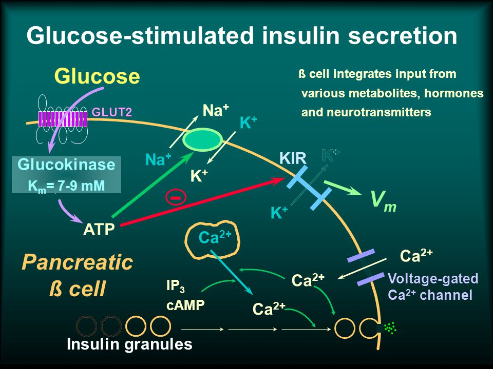 Insulin granules Glucose-stimulated insulin secretion Na + K+K+ K+K+ K+K+ K+K+ ATP Na + K+K+ - K+K+ Glucose GLUT2 Ca 2+ Voltage-gated Ca 2+ channel KIR VmVm Pancreatic ß cell IP 3 cAMP Glucokinase K m = 7-9 mM ß cell integrates input from various metabolites, hormones and neurotransmitters