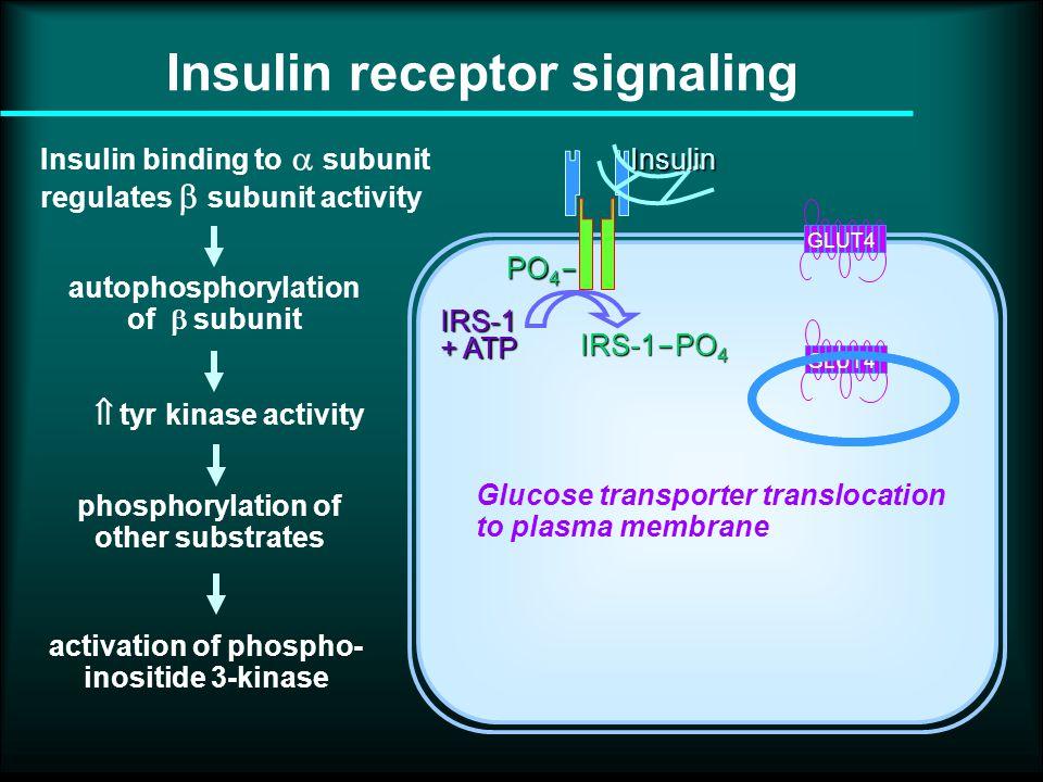 Insulin receptor signaling PO 4  IRS-1 + ATP IRS-1  PO 4 Insulin binding to  subunit regulates  subunit activityInsulin autophosphorylation of  subunit GLUT4 phosphorylation of other substrates  tyr kinase activity activation of phospho- inositide 3-kinase Glucose transporter translocation to plasma membrane