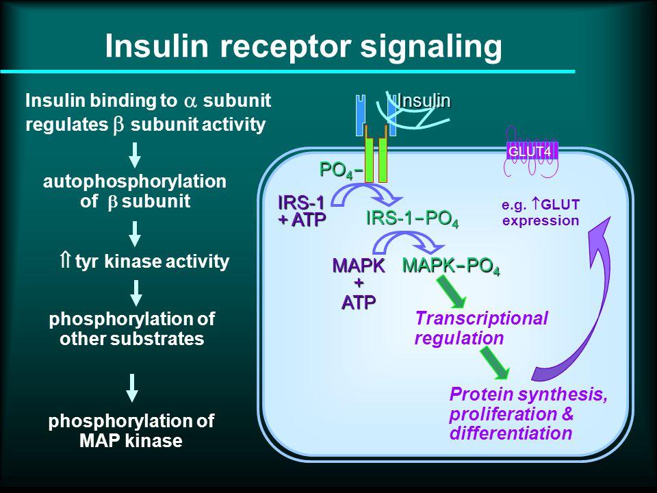 PO 4  IRS-1 + ATP IRS-1  PO 4 Insulin GLUT4 phosphorylation of MAP kinase MAPK + ATP MAPK  PO 4 Transcriptional regulation Protein synthesis, proliferation & differentiation Insulin binding to  subunit regulates  subunit activity autophosphorylation of  subunit phosphorylation of other substrates  tyr kinase activity Insulin receptor signaling e.g.