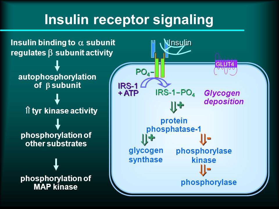 PO 4  IRS-1 + ATP IRS-1  PO 4 Insulin GLUT4 glycogen synthase protein phosphatase-1 phosphorylase kinase phosphorylase  + + -  - Glycogen deposition Insulin binding to  subunit regulates  subunit activity autophosphorylation of  subunit phosphorylation of other substrates  tyr kinase activity phosphorylation of MAP kinase Insulin receptor signaling