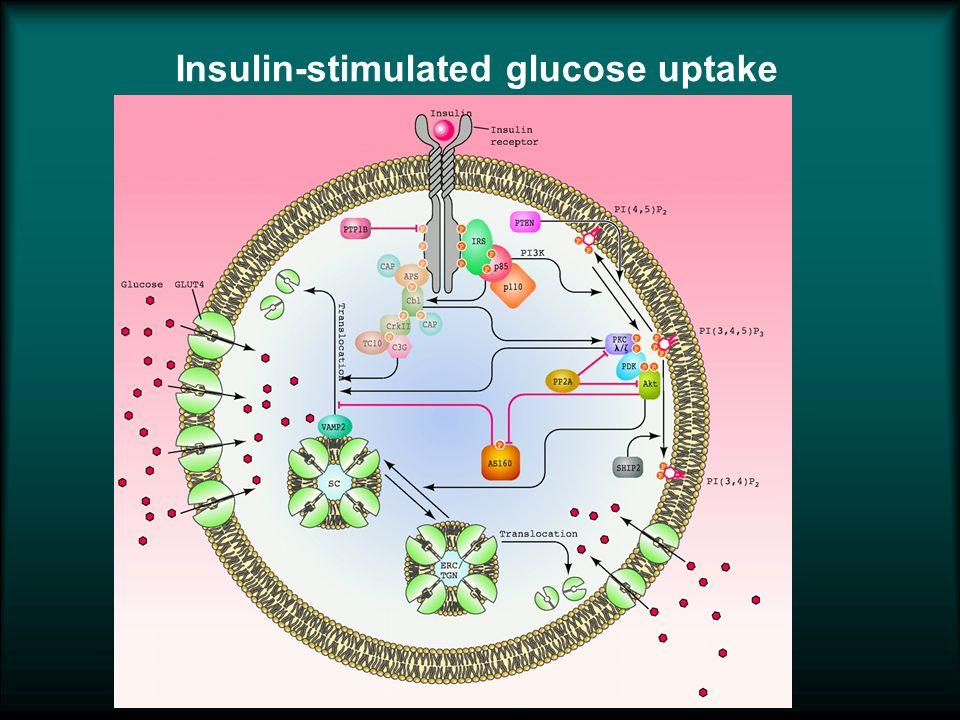 Insulin-stimulated glucose uptake