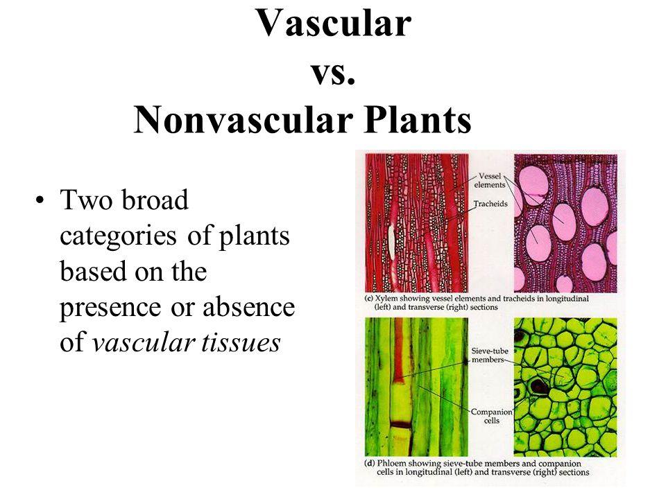 Vascular vs.