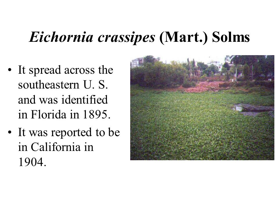 Eichornia crassipes (Mart.) Solms It spread across the southeastern U.
