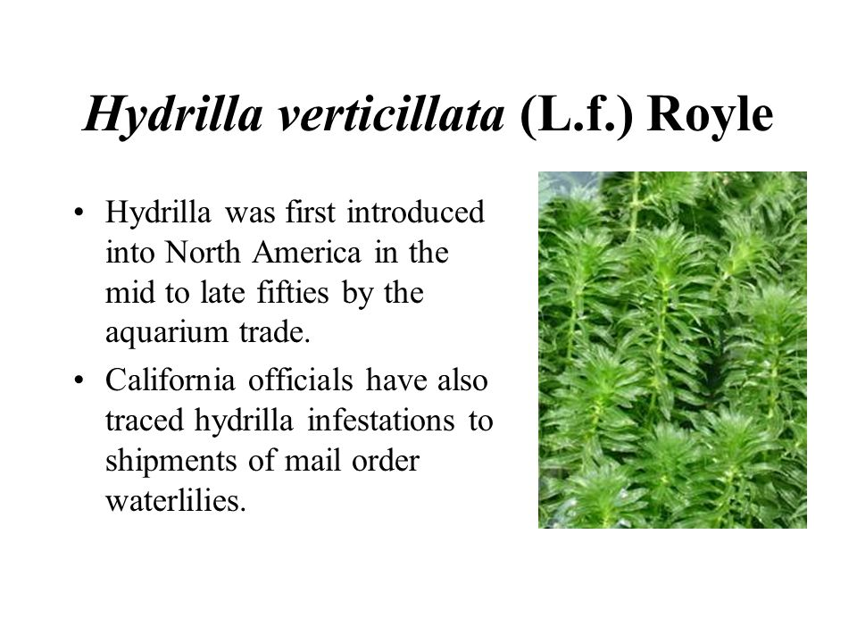 Hydrilla verticillata (L.f.) Royle Hydrilla was first introduced into North America in the mid to late fifties by the aquarium trade.