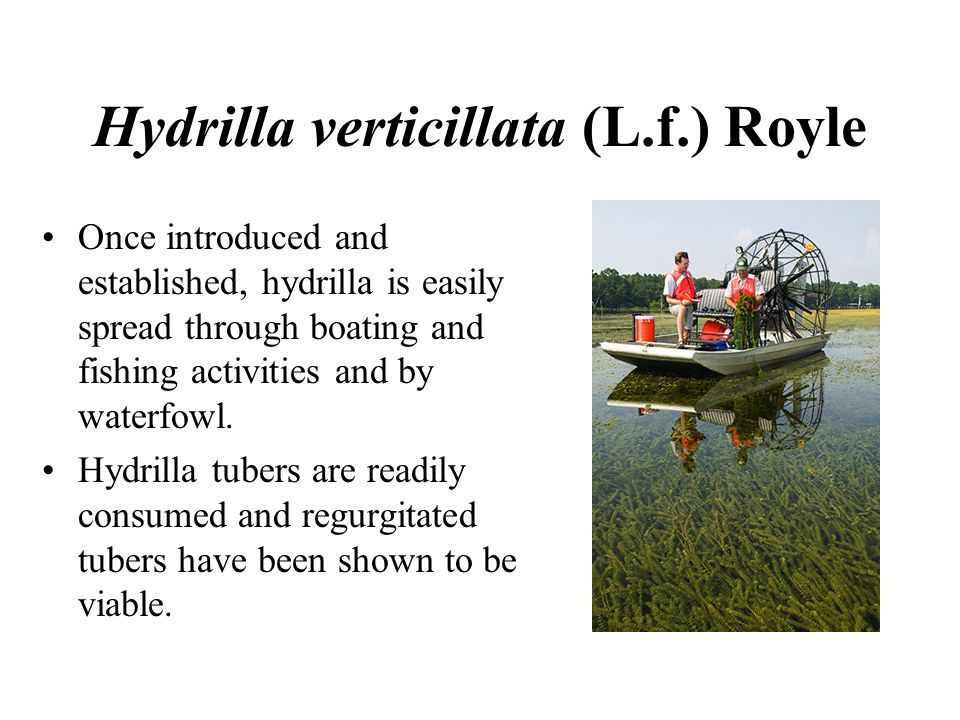 Hydrilla verticillata (L.f.) Royle Once introduced and established, hydrilla is easily spread through boating and fishing activities and by waterfowl.