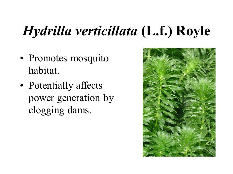 Hydrilla verticillata (L.f.) Royle Promotes mosquito habitat.