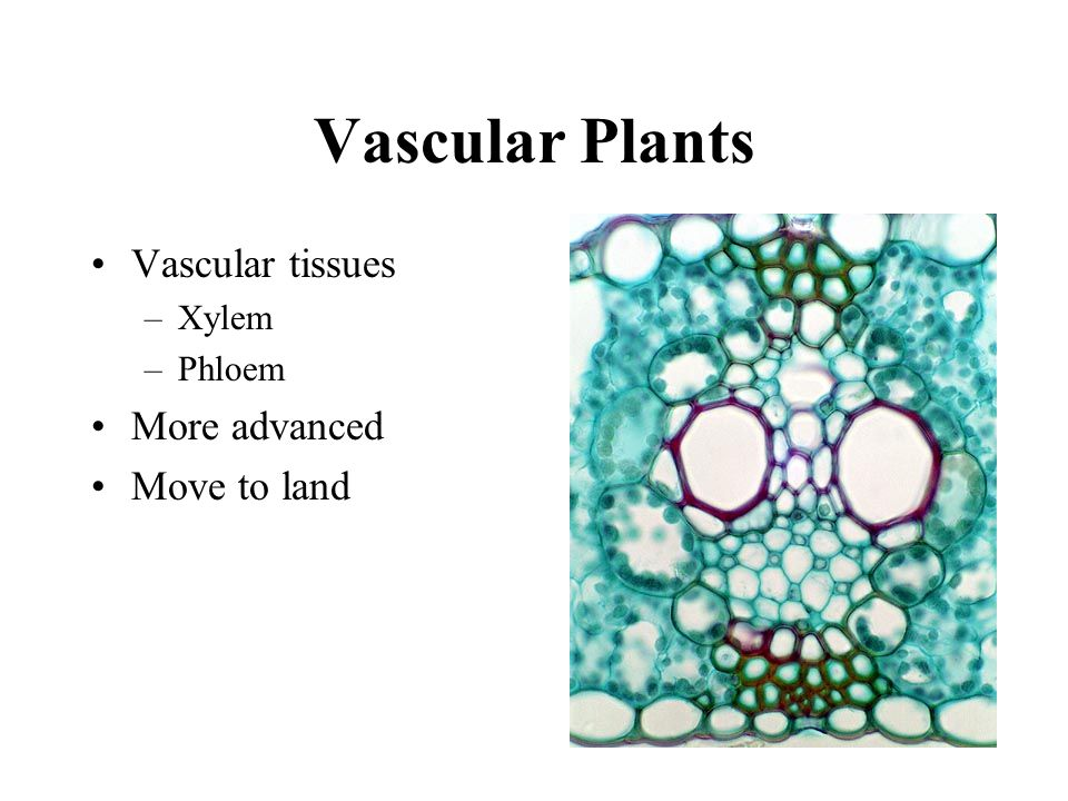 Vascular Plants Vascular tissues –Xylem –Phloem More advanced Move to land