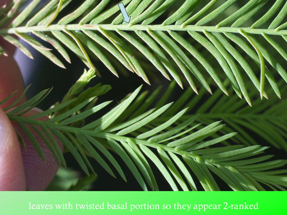 leaves with twisted basal portion so they appear 2-ranked