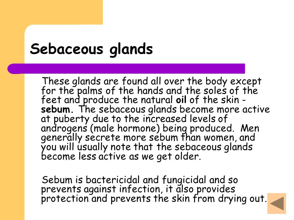 Sebaceous glands These glands are found all over the body except for the palms of the hands and the soles of the feet and produce the natural oil of t