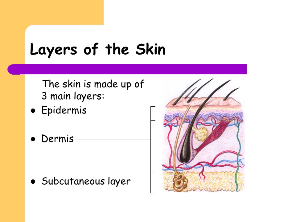 Layers of the Skin The skin is made up of 3 main layers: Epidermis Dermis Subcutaneous layer