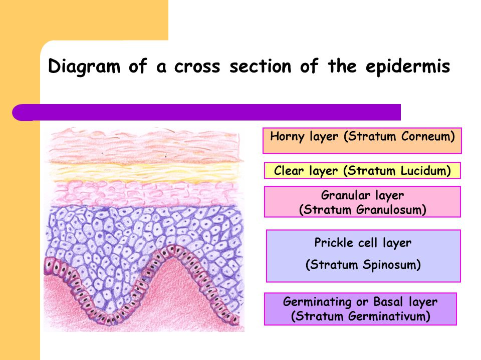 Diagram of a cross section of the epidermis Horny layer (Stratum Corneum) Clear layer (Stratum Lucidum) Granular layer (Stratum Granulosum) Prickle ce