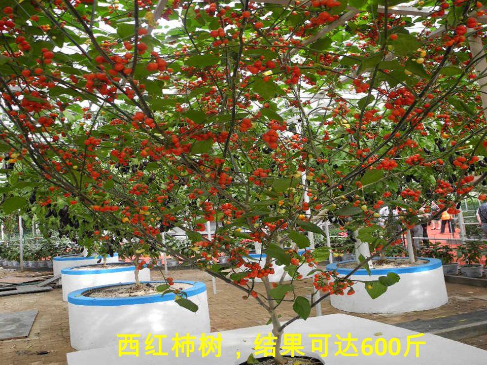 黄瓜树,结瓜可达 5000 多条