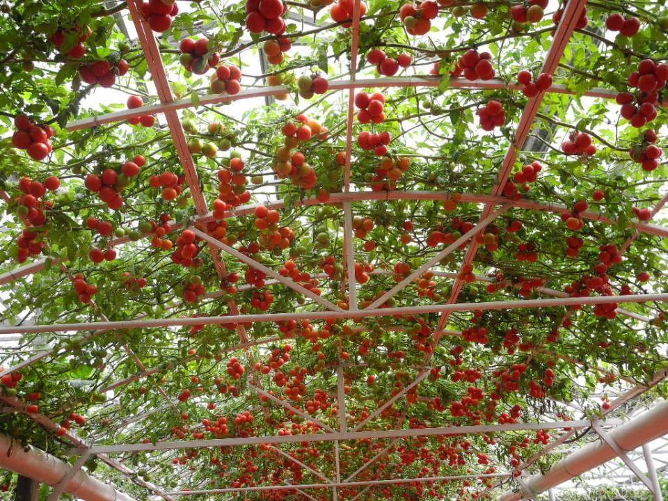 西红柿树,结果可达 600 斤