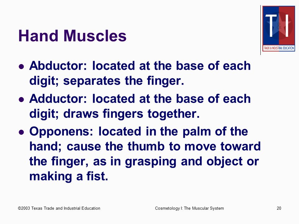 ©2003 Texas Trade and Industrial EducationCosmetology I: The Muscular System19 Shoulder, Chest, and Arm Muscles Supinator: runs parallel to the ulna; turns the palm of the hand up and down.