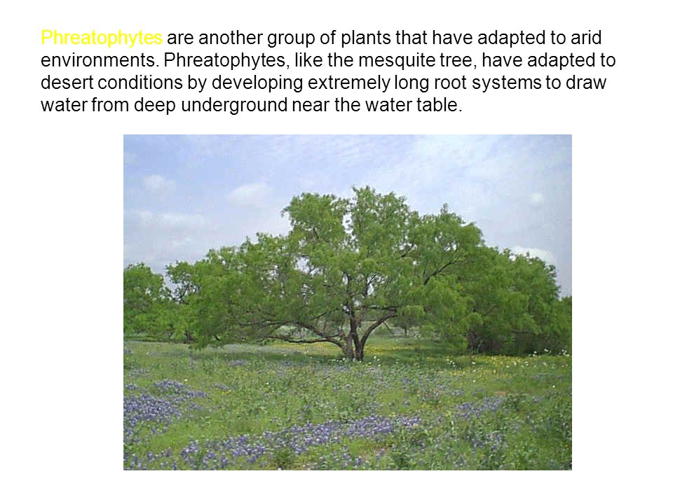 Phreatophytes are another group of plants that have adapted to arid environments. Phreatophytes, like the mesquite tree, have adapted to desert condit