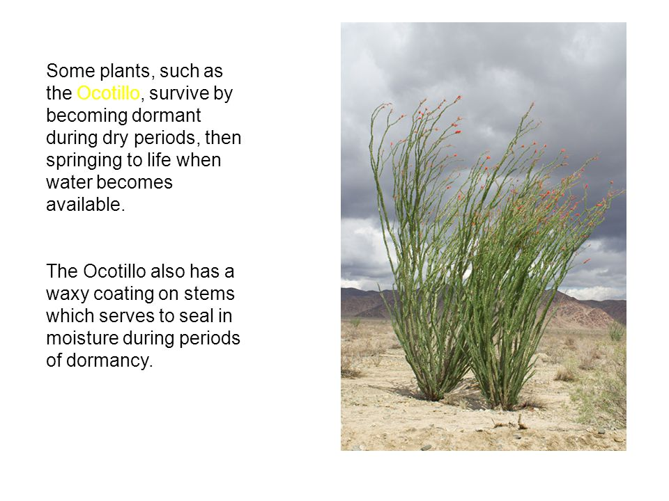 Some plants, such as the Ocotillo, survive by becoming dormant during dry periods, then springing to life when water becomes available. The Ocotillo a