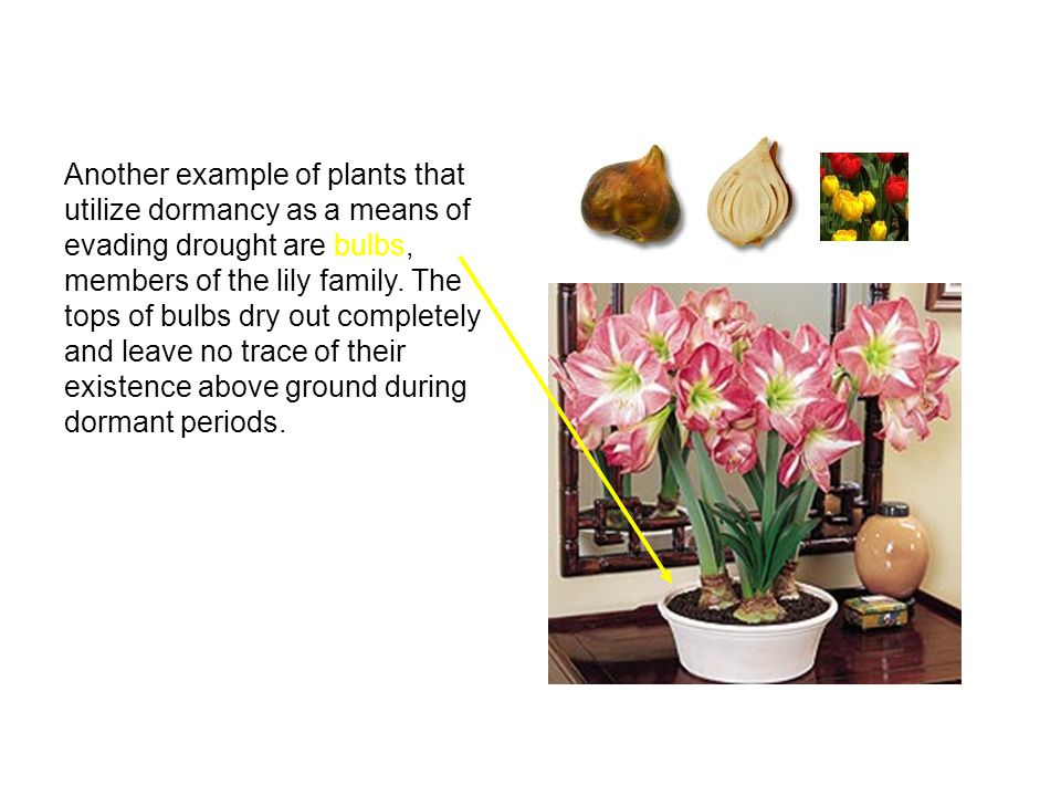 Another example of plants that utilize dormancy as a means of evading drought are bulbs, members of the lily family. The tops of bulbs dry out complet