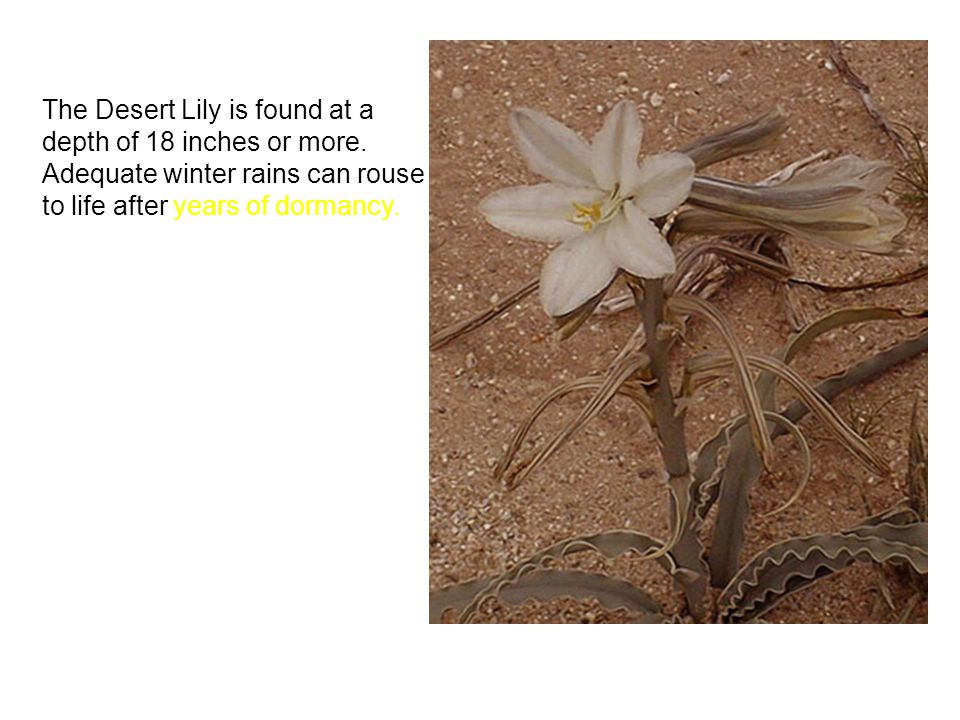The Desert Lily is found at a depth of 18 inches or more. Adequate winter rains can rouse it to life after years of dormancy.